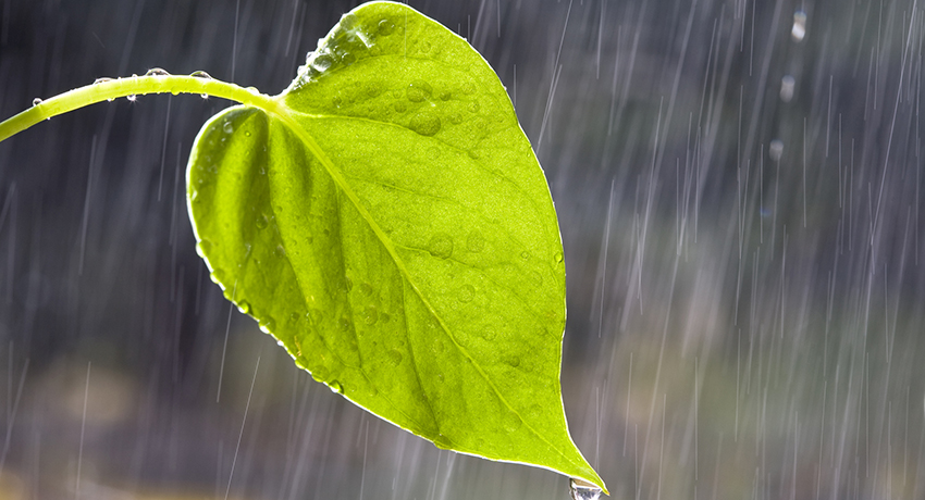 a heart-shaped leaf with water droplets in the rain